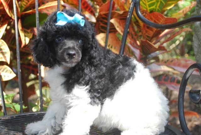 Small Mimi Poodle