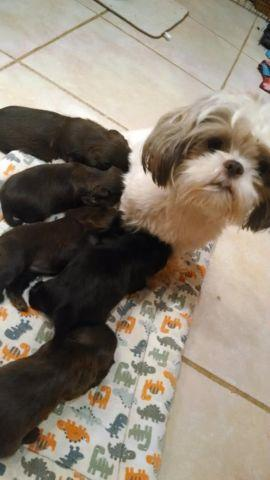 shih tzu breeders in tennessee small shih tzu maltese puppies for sale in athens 5859