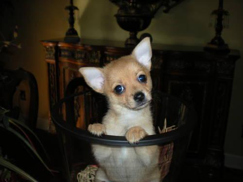 Small Pomeranian Chihuahua Mix Puppies For Sale In