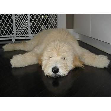 Smaller Size Teddy Bear Goldendoodle Puppies For Sale In