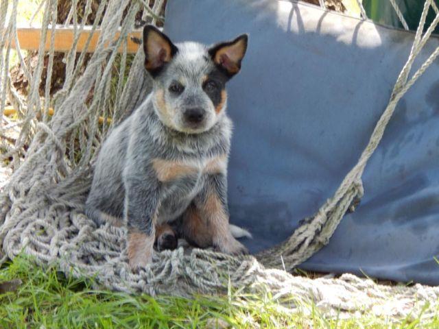 smart akc registered australian cattle dogs blue heeler