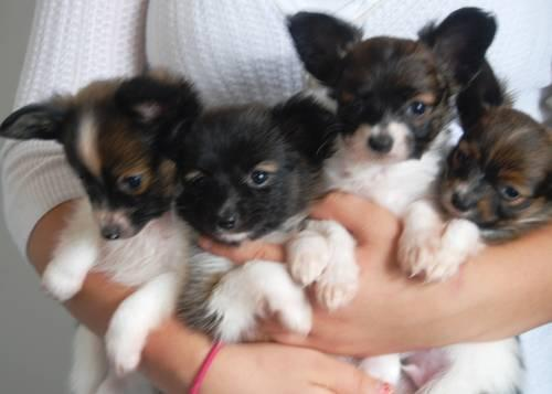 Pets And Animals For Sale In Adams Nebraska Puppy And Kitten
