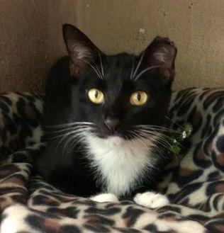 Smoke Domestic Shorthair Adult Female