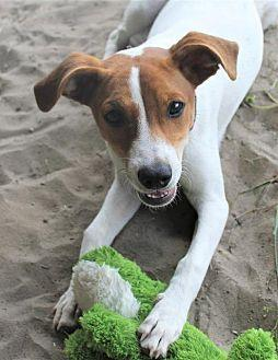Snickerdoodle Jack Russell Terrier Young Female