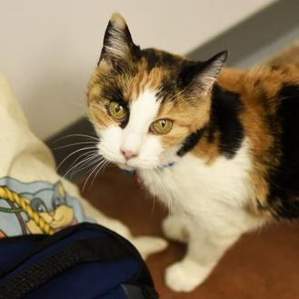 Snickers Domestic Shorthair Adult Female