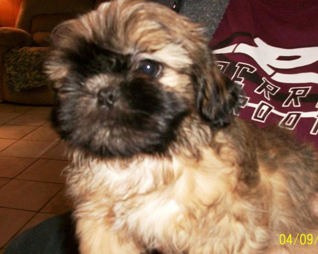 Snickers Shih Tzu Baby Adoption Rescue For Sale In Perry