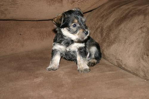 Blue Merle Australian Shepherd Puppies For Sale In Gadsden Alabama