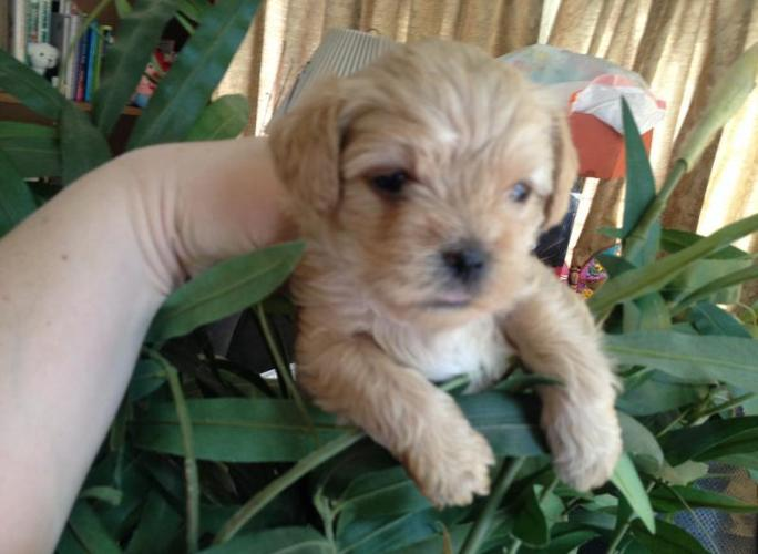yorkie puppies for sale indianapolis snorkie puppy mini schnauzer yorkie for sale in 6000