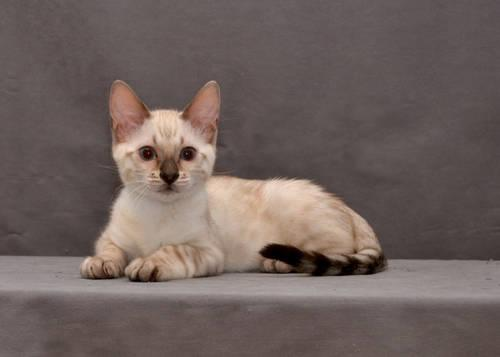 Snow Bengal Male Available