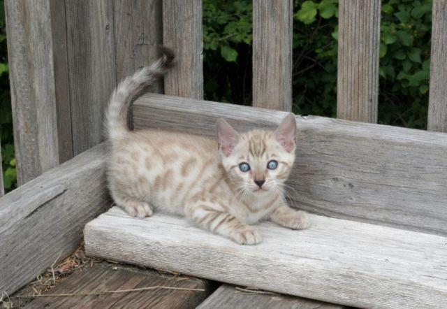 Snow Mink Spotted Bengal Kitten Male available as breeder - Will