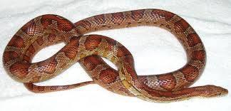Snow Motley Corn Snake 15