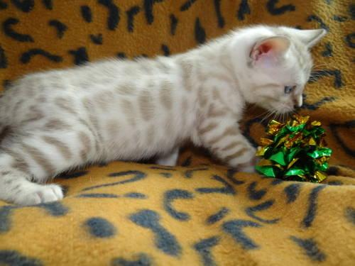 Silver spotted bengal kittens for sale uk