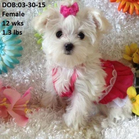 Pets And Animals For Sale In Grand Prairie Texas Puppy And Kitten