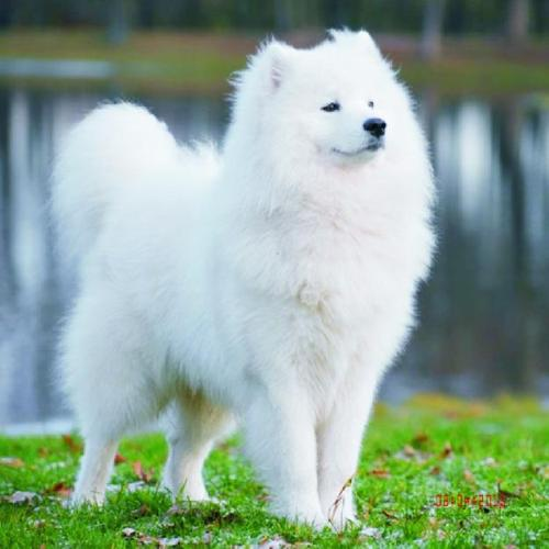 Samoyed For Sale >> Pets And Animals For Sale In Santa Maria California Puppy And