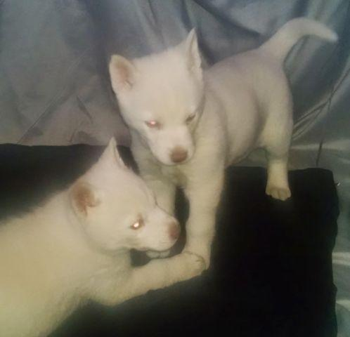 Snow White Siberian Husky Pups For Sale In Gilboa Ohio Classified