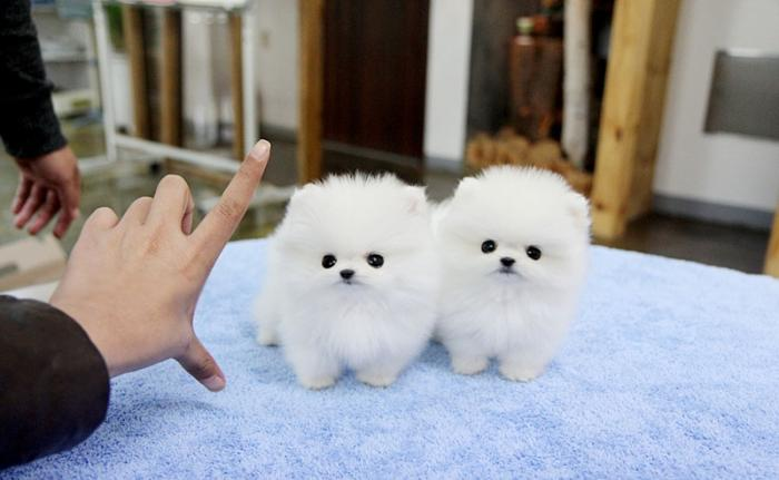 Teacup Pomeranian Puppies Pets And Animals For Sale In The Usa