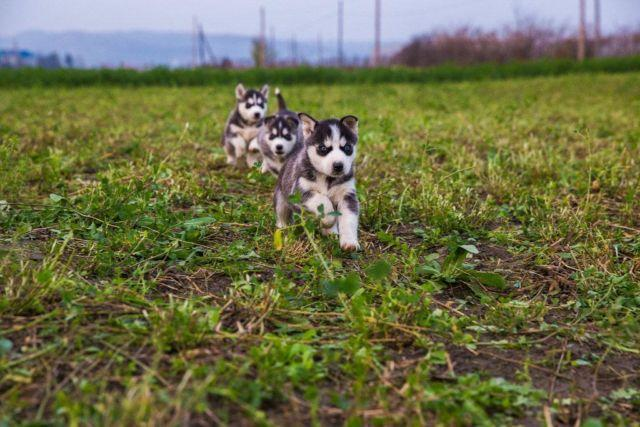 Socialized Blue Eyes Siberian Huskies Puppies for Sale in