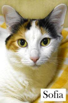 Sofia Domestic Shorthair Adult Female