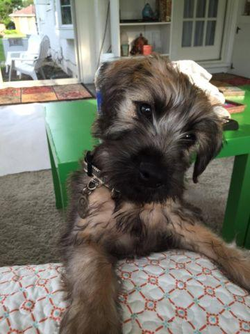 Soft Coated Wheaten Terrier Akc For