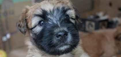 Soft Coated Wheaten Terrier Female