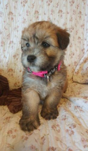 wheaten terrier rescue ohio soft coated wheaten terrier puppy for sale adoption 7264