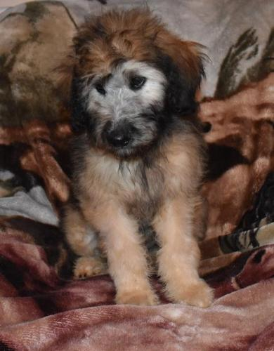 Soft Coated Wheaten Terrier Puppy For Adoption