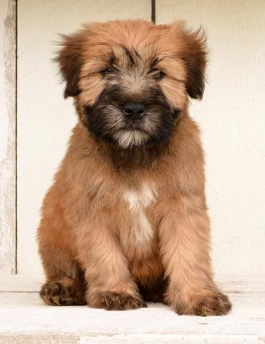 wheaten terrier rescue ohio soft coated wheaten terrier puppy for sale adoption 4101