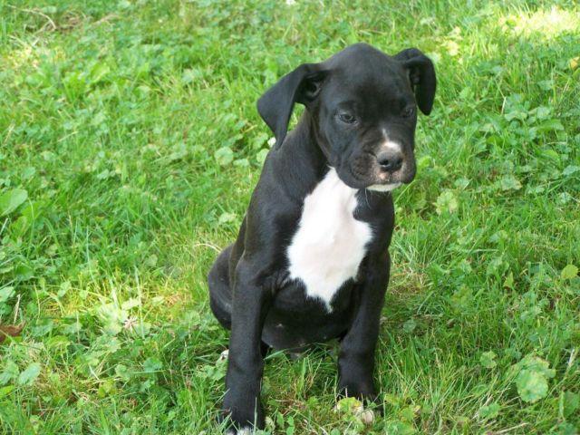 Adorable Light Golden Retriever male puppy - 8 weeks