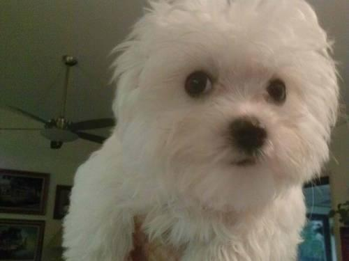 SOLD Beautiful Maltese puppies 12wks old SOLD