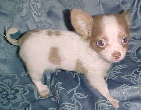 spotted chihuahua sold cute ckc white blue spotted lc chihuahua male for 430