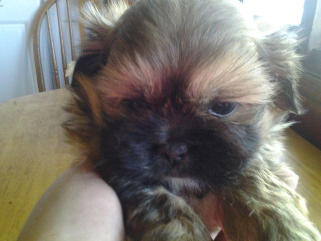 Sold Pending Deposit Purebred Shih Tzu Puppy Video Of Him For