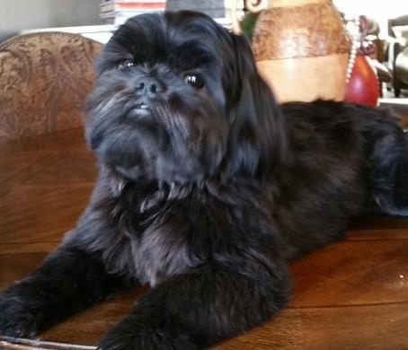 Shih Tzu Poodle Pets And Animals For Sale In Dallas Texas Puppy