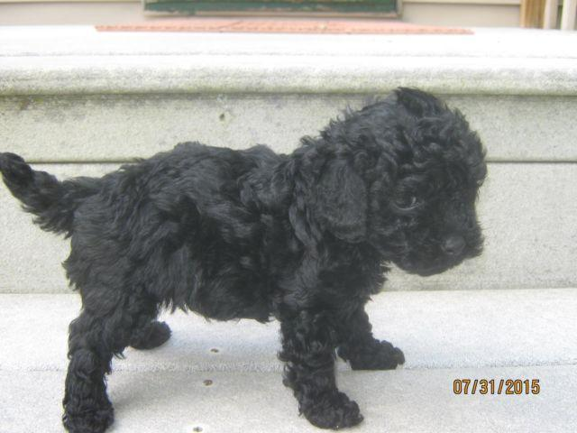 Solid Black Toy Poodle -- 7 Weeks Old -- Holly