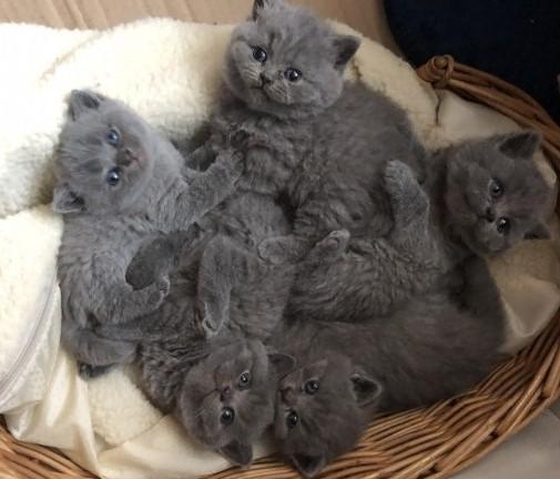 SOLID british shorthair kittens gccf regestered