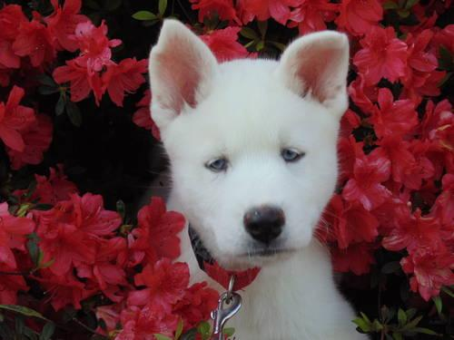 Solid White Blue Eyed Pure Bred Siberian Husky Puppies For Sale 8wks