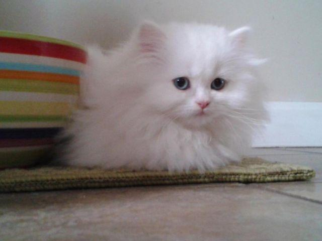 Pictures of White Persian Cat Doll Face - #rock-cafe