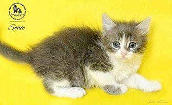 Sonic Domestic Shorthair Kitten Male