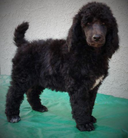 Sophia Beautiful Standard Poodle Pup Abstract Black