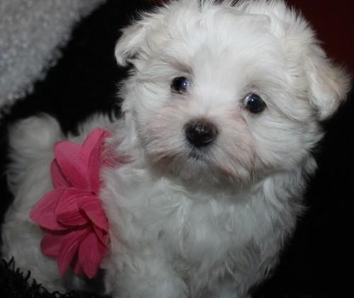 Sotee Teacup Maltese Puppies For Sale In Jersey City New