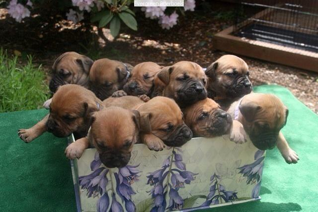Boerboel For Sale In Washington Classifieds Buy And Sell In