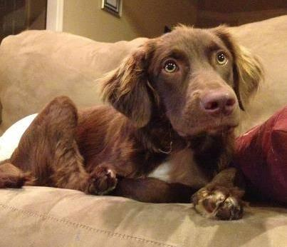 Spaniel - Lil Red - Medium - Young - Male - Dog