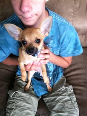 SPECIAL NEEDS MALE TEACUP CHIHUAHUA JAK-JAK