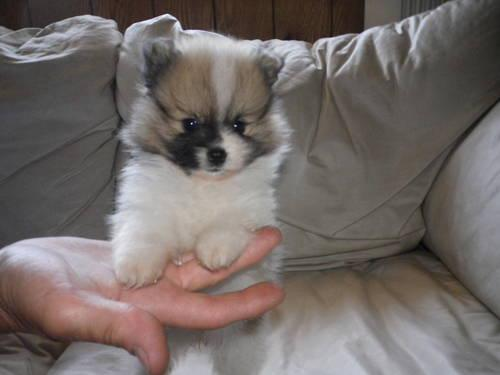 pomeranian breeders michigan special needs teacup pomeranian for sale in new era 8434