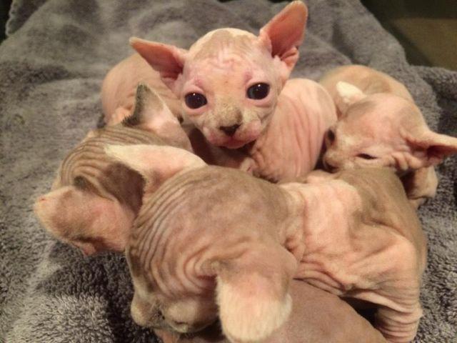 Sphynx and Bambino Kittens !
