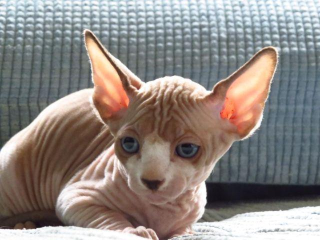 Sphynx and Bambino Kittens, Gorgeous !