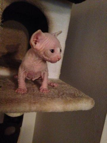 Sphynx boy white -pink body blue ayes 1500$,-4 weeks