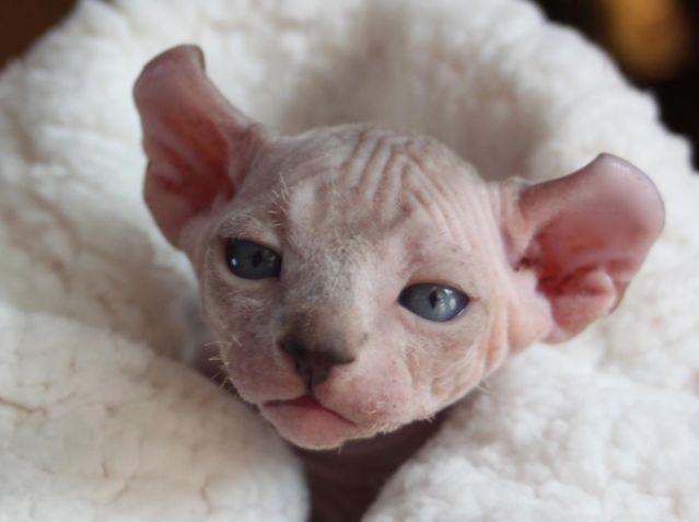 Sphynx, Elf, Bambino & Dwelf Kittens - Hairless Kittens