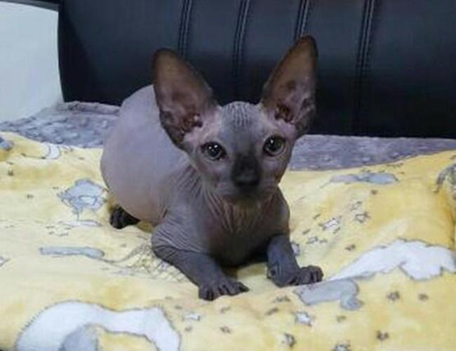 Sphynx Kitten Available!!