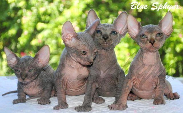 Sphynx Kittens Available!!!