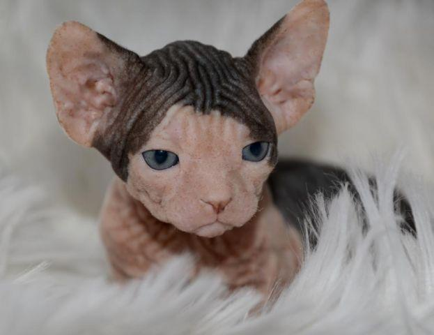 Sphynx Kittens available at LiLNudists VA